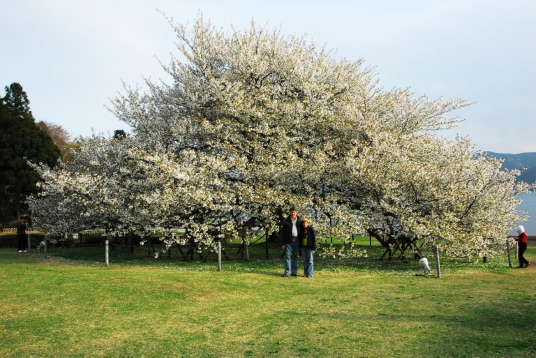 1603 - Japans biggest Cherry Blossom