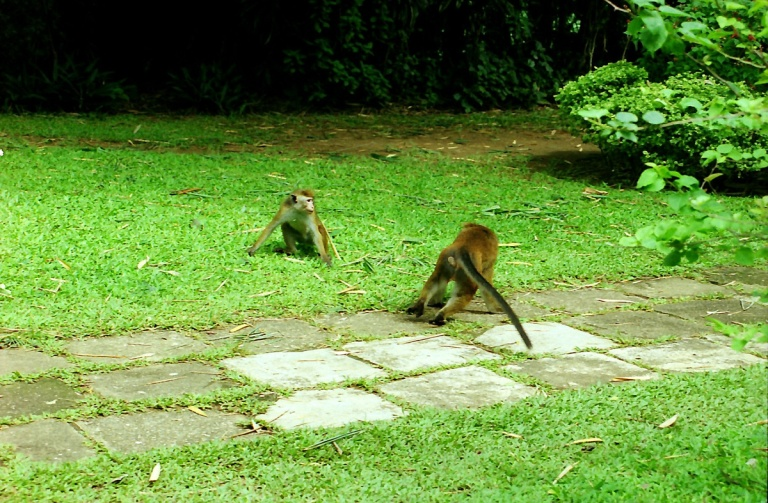174 - More Monkey's in Kandy