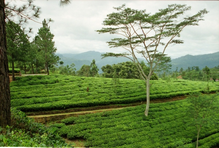 184 - Tea Plantation near Nuwara -Eliya