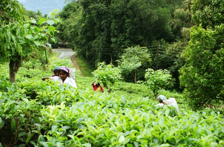 199 - Tea Pickers