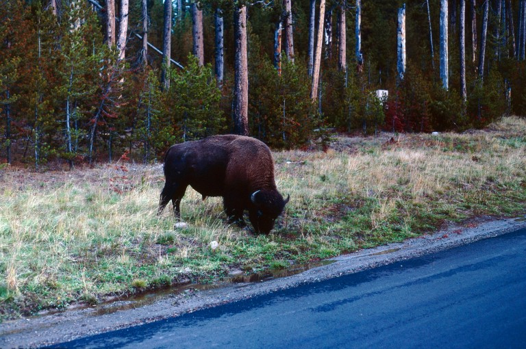 19-50 Bison in Yellowstone National Park Wyoming