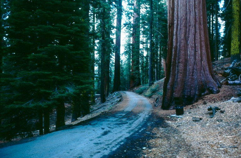 20-77  Redwood forest California