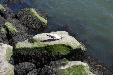 Very large seagull in Porto